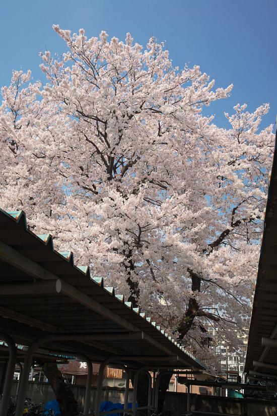 2008sakura_0813.jpg