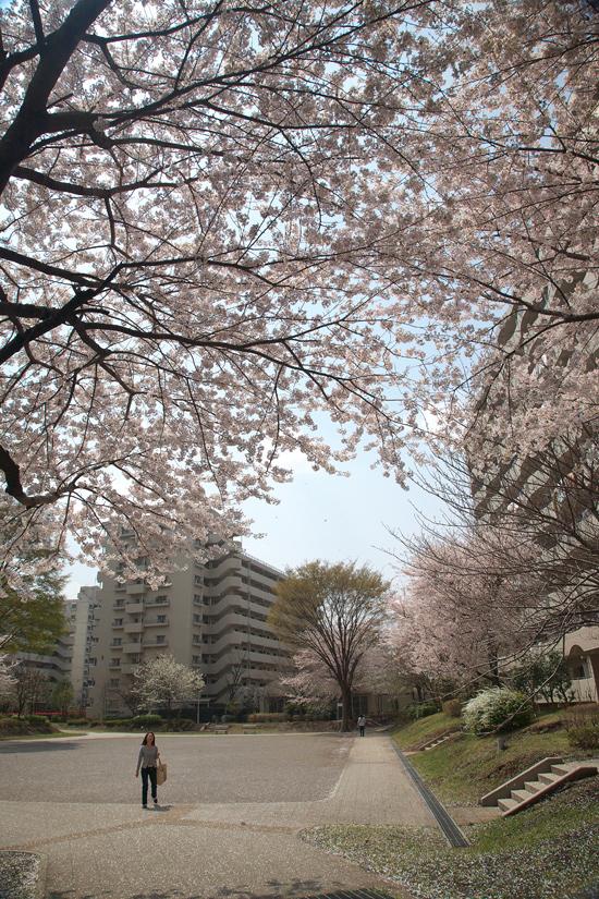 2008sakura_0835.jpg
