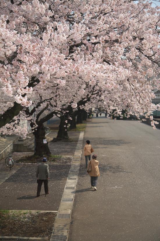 2008sakura_0902.jpg