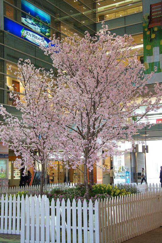 ohno2008eki_sakura01.jpg