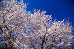 sakura_web0008.jpg