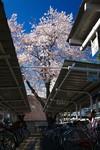 sakura_web0011.jpg