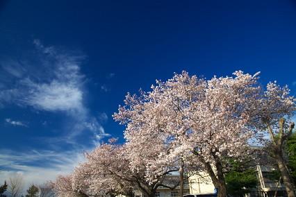 sakura_web0038.jpg