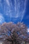 sakura_web0051.jpg