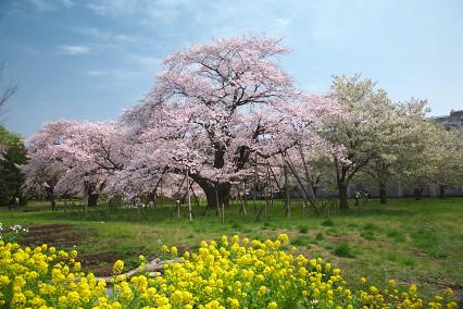 sakura_web0084.jpg