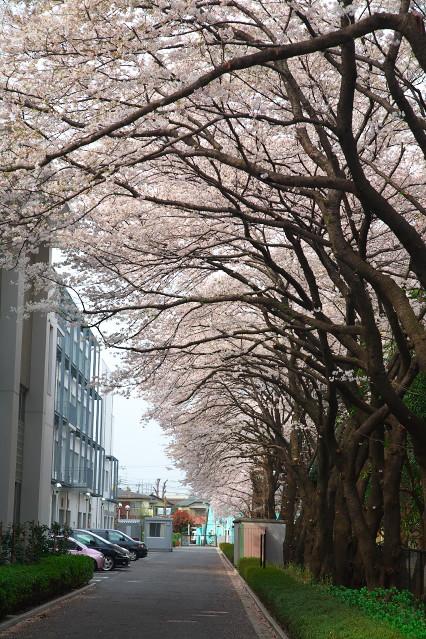sakura_web0108.jpg