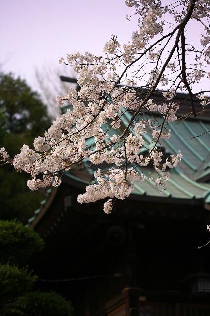 sakura_web0122.jpg
