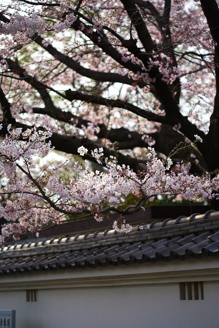 sakura_web0123.jpg