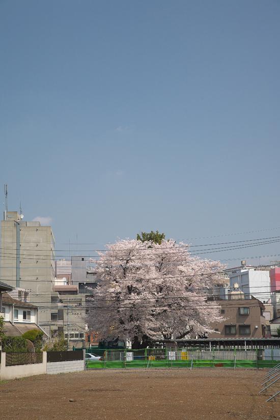 2008sakura_0790.jpg