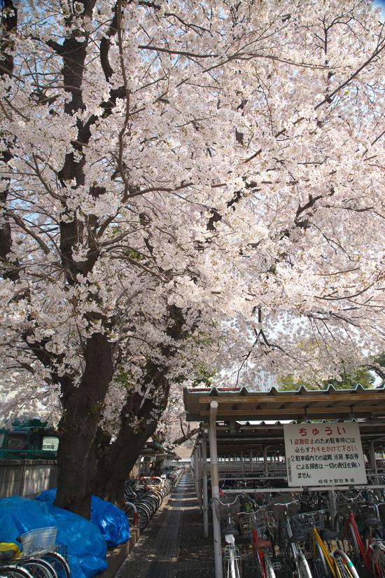 2008sakura_0797.jpg