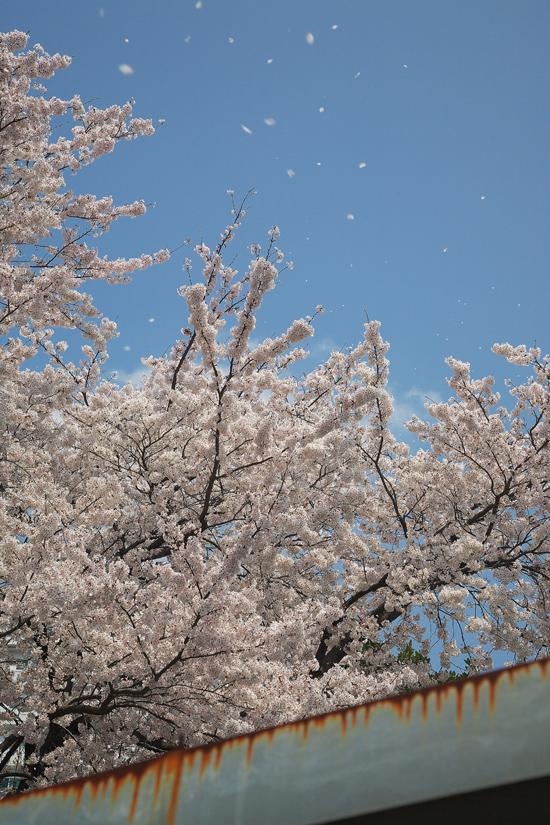 2008sakura_0805.jpg