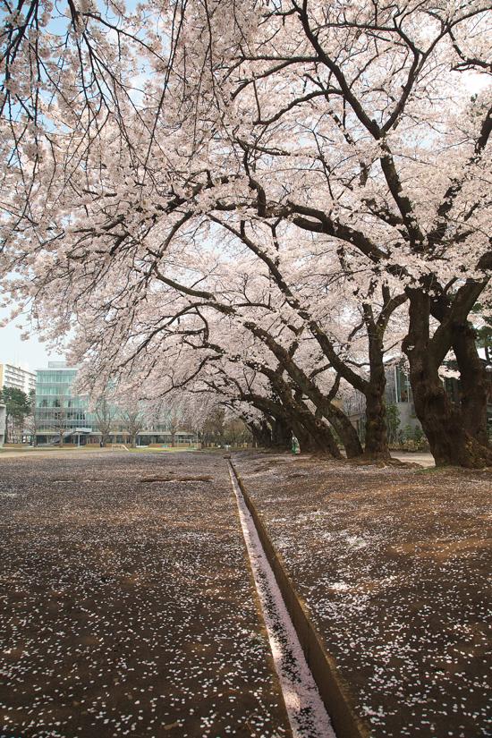 2008sakura_0851.jpg