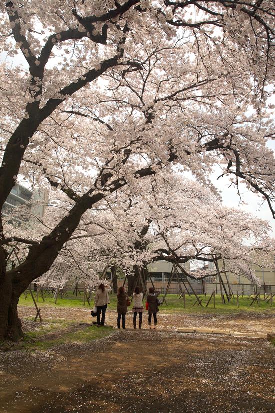 2008sakura_0855.jpg